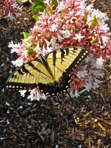A beautiful Eastern Tiger Swallowtail