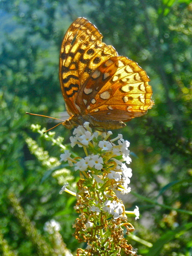 An attractive Silver-washed Fritillary