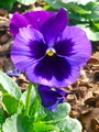 Beautiful Purple Pansy - gardening photo