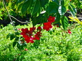 Bright-red Flowers - gardening photo