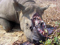 Poached Rhino - against-animal-cruelty photo