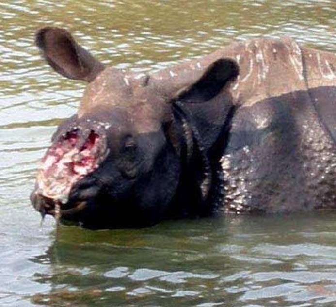 Rhino still alive after horn hacked off...SORRY 4 THE GRAPHIC PICTURE!