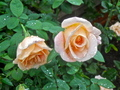 Roses with rain drops - gardening photo