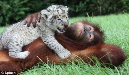 White Lion Cub with Orangutan