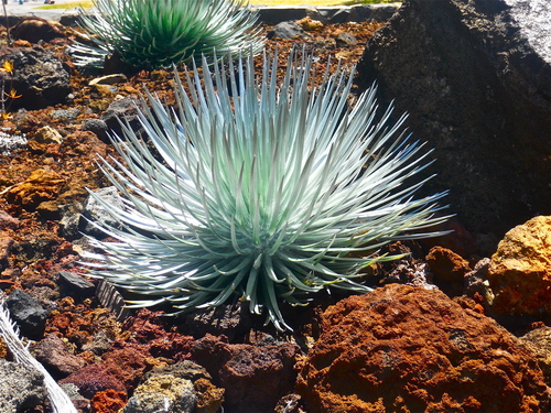 Wild Haleakala Silversword
