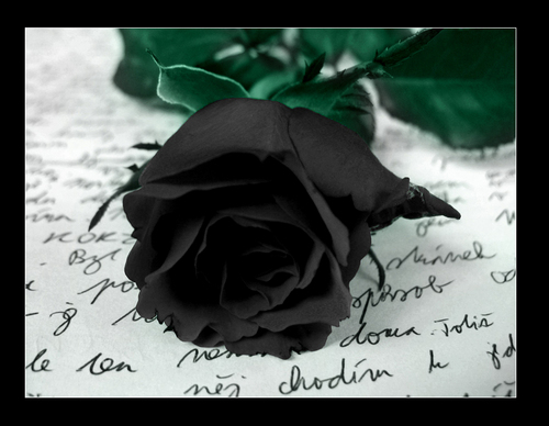 black rose - blacksunshine Photo