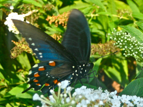 A Pretty Black Swallowtail