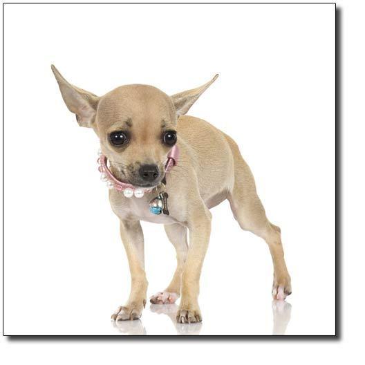 Cute Chihuahua - Chihuahuas Photo (16683175) - Fanpop