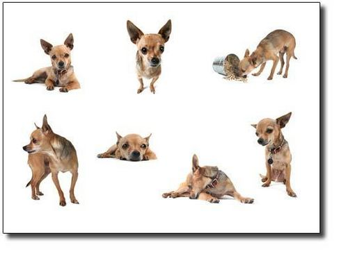 Chihuahuas wallpaper called Cute Chihuahua