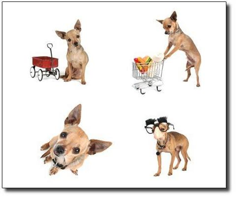 Chihuahuas wallpaper possibly containing a ratto terrier, a chihuahua, and a dishwasher called Cute chihuahua