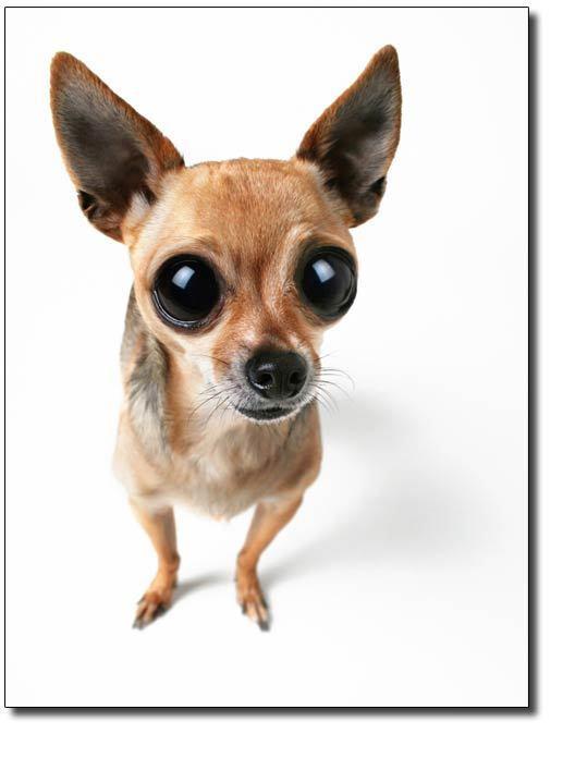 Cute Chihuahua Chihuahuas Photo 16683232 Fanpop