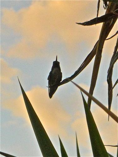 kolibri in the sunset