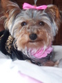 Lizzy Sue. My yorkie! - yorkies photo