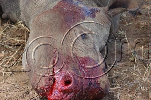 Slaughtered Baby Rhino :'(