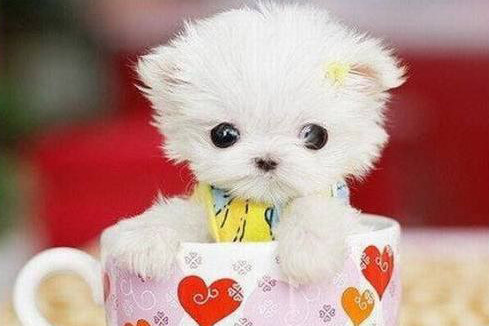 Teddybear64 Images Cute Puppies To Adopt Wallpaper And Background
