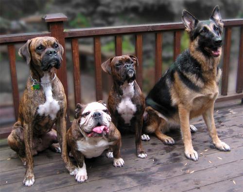 Funny bulldogs