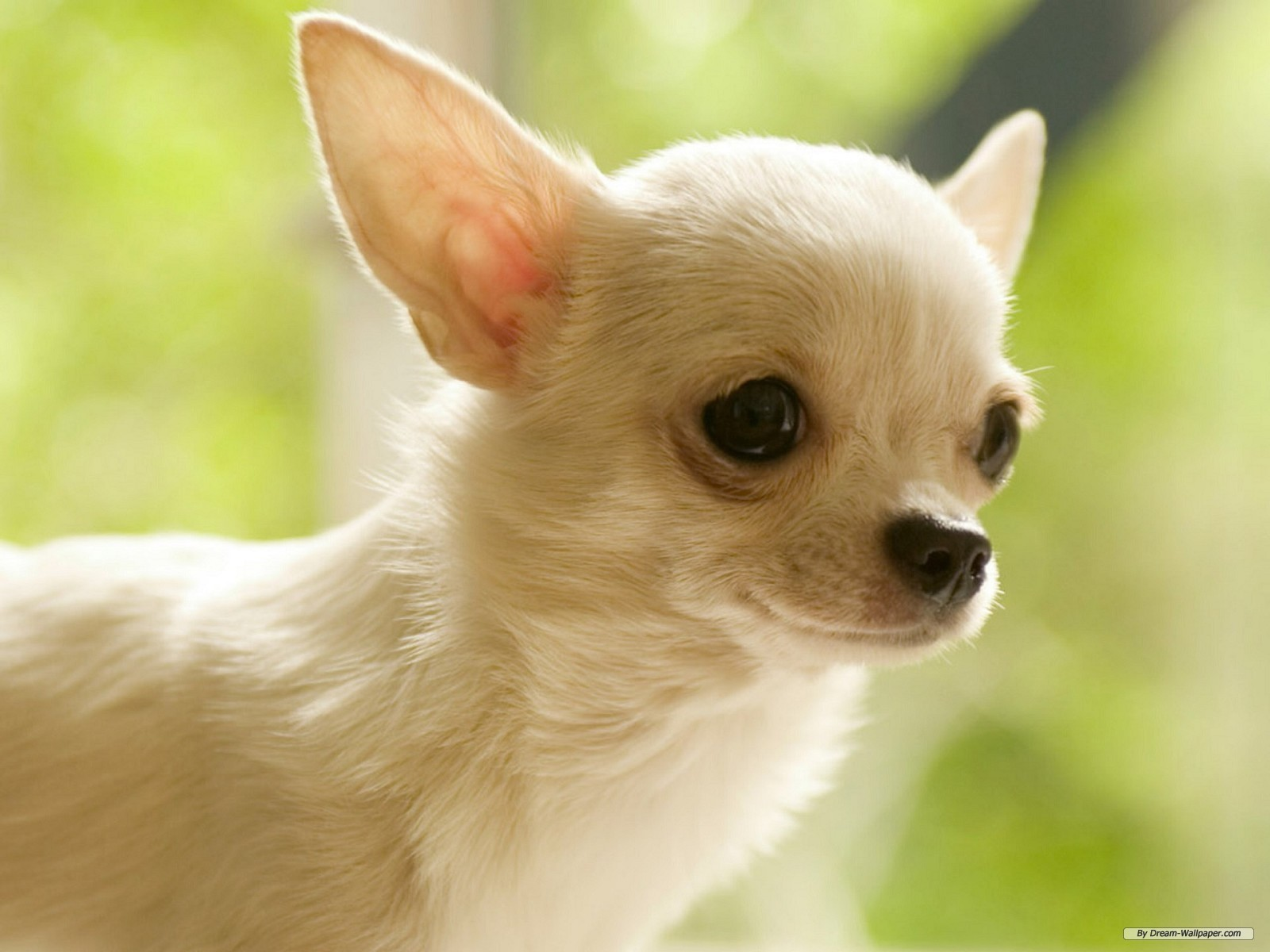 Chiwawa Dog Chihuahua Puppies