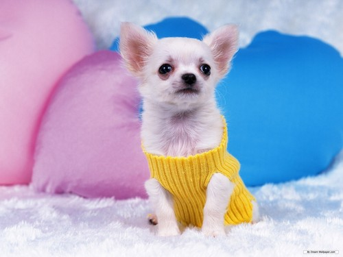 Chihuahuas wallpaper with a chihuahua entitled Gorgeous Chihuahua