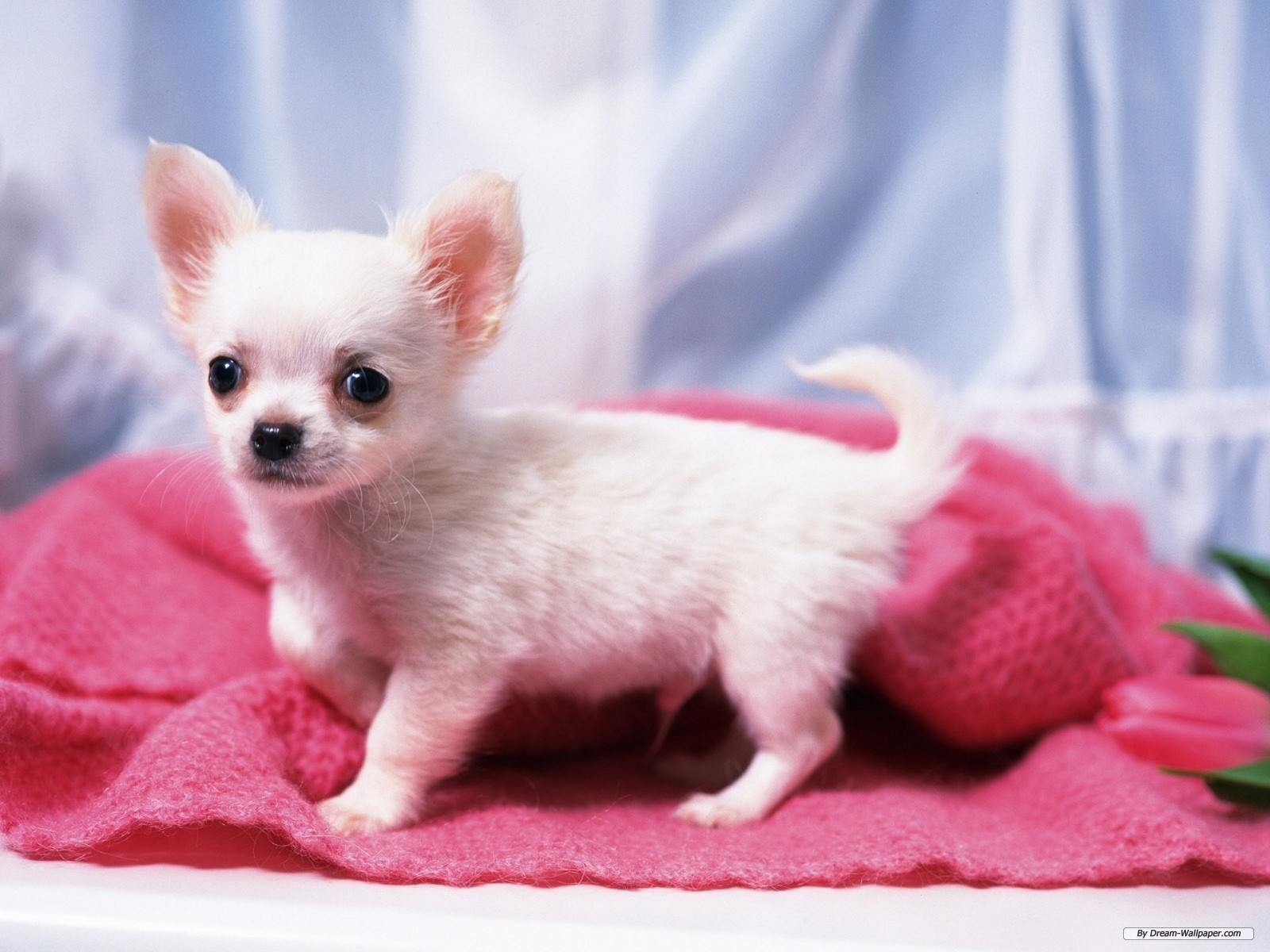 Gorgeous Chihuahua - Chihuahuas Wallpaper (16750836) - Fanpop fanclubs