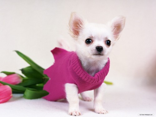 Chihuahuas 壁紙 possibly containing a チワワ called Gorgeous チワワ