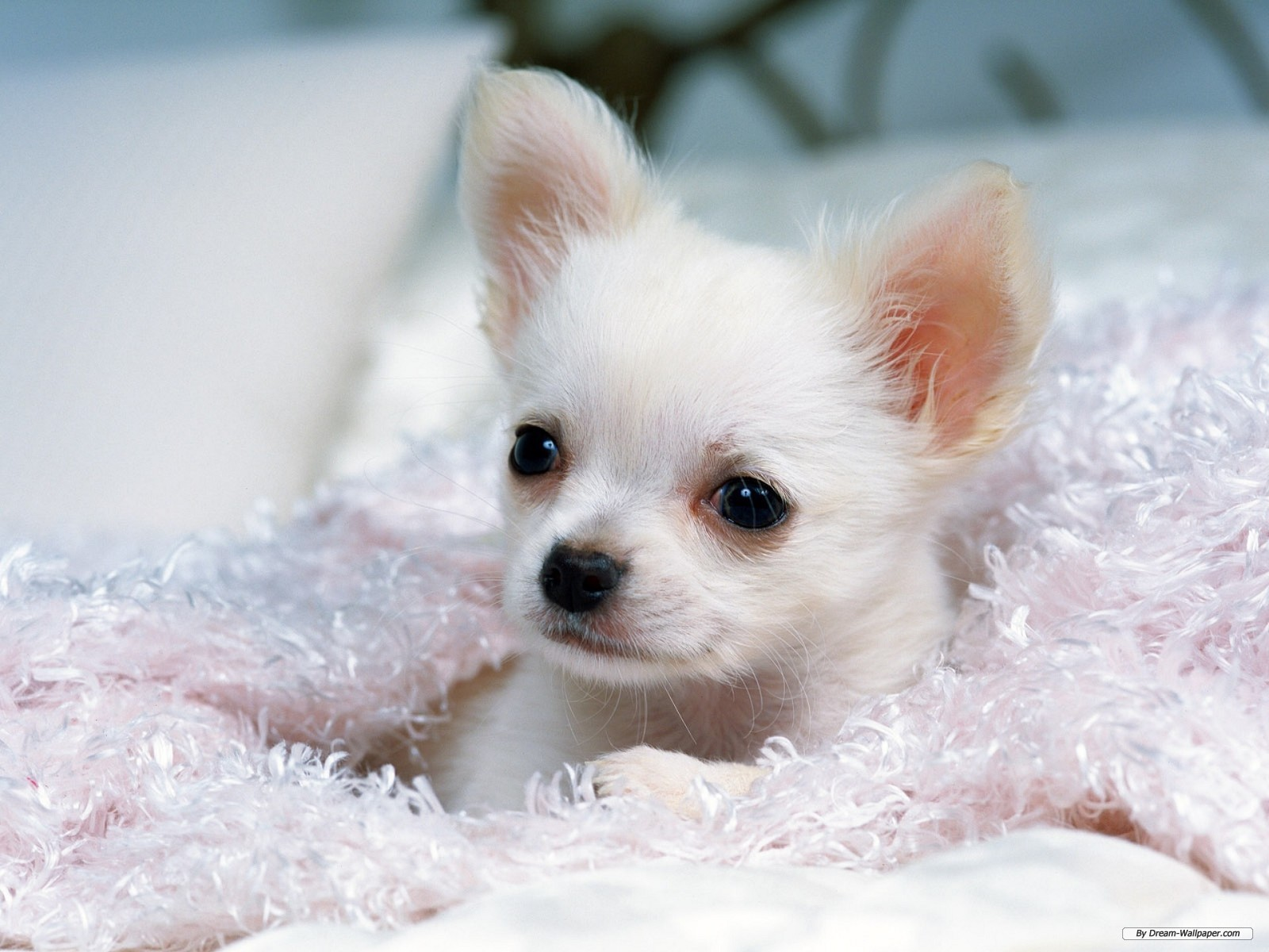 Chihuahua puppy looking under the blanket