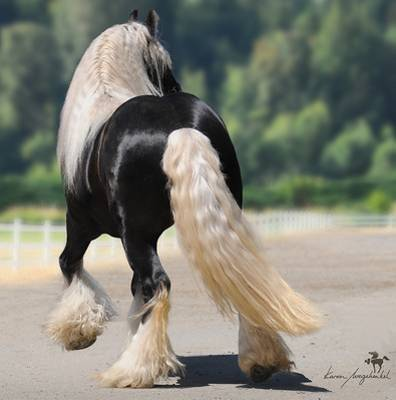 Gypsy Vanners! Breath Taking... - horses Photo