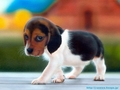 Puppy  - babies-pets-and-animals wallpaper
