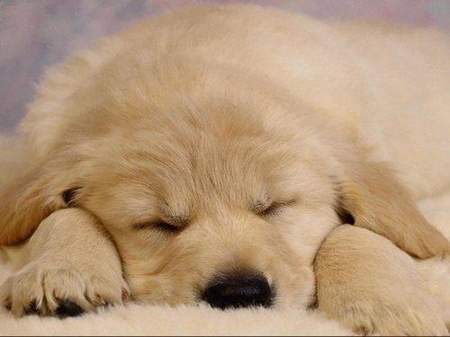 Sleepy 子犬