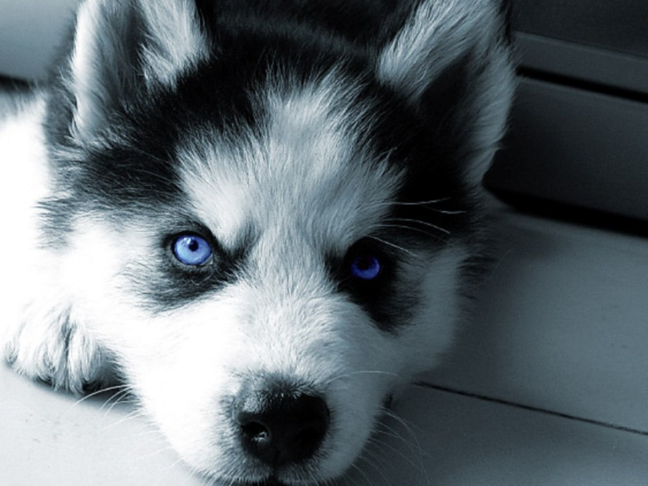 siberian husky Huskies are the number 12 most popular dog breed in the country, but it's   siberian huskies are admired for being beautiful dogs, but they're much more  than a.
