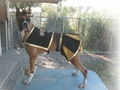 Boxer Dog as Saint Sensation Cheerleader - new-orleans-saints photo
