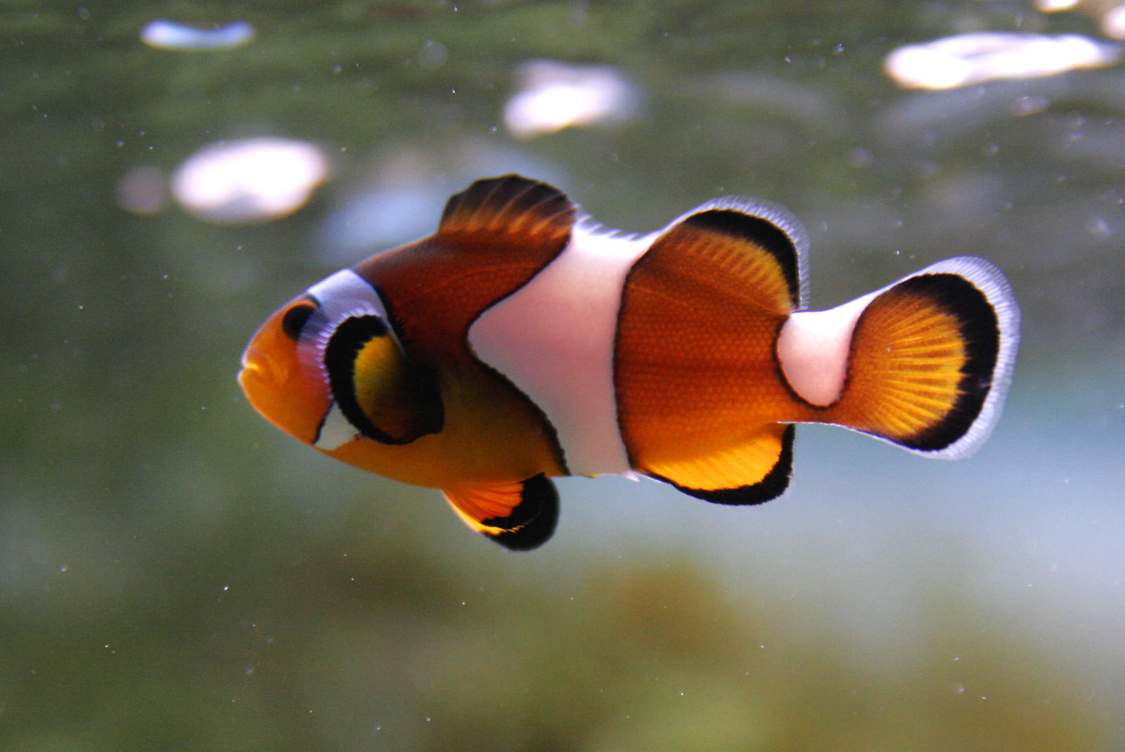 Clownfish images clown fish hd wallpaper and background for Clown fish for sale