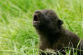 Cute بھیڑیا