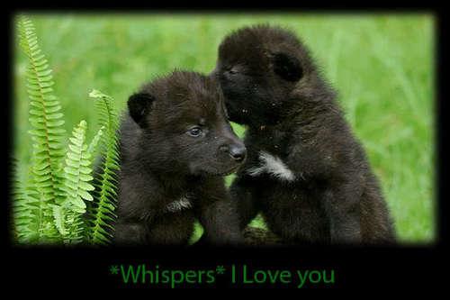 Cute serigala, wolf