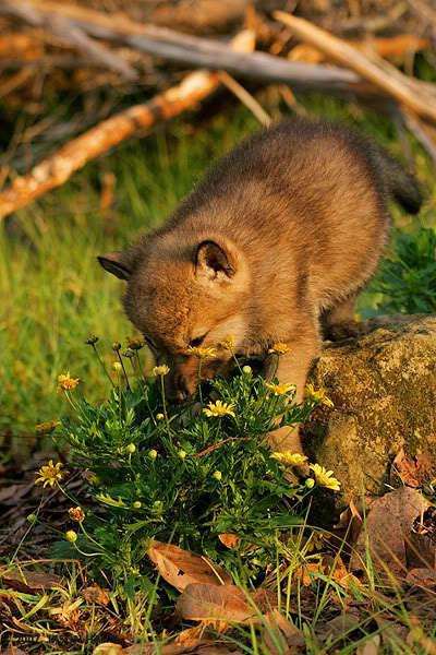 Cute wolf zone cute wolf