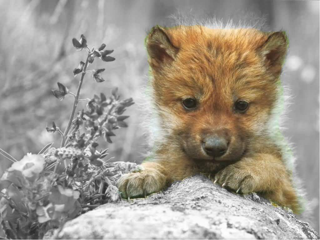 Cute Wolf Zone images Cute Wolf HD wallpaper and ...