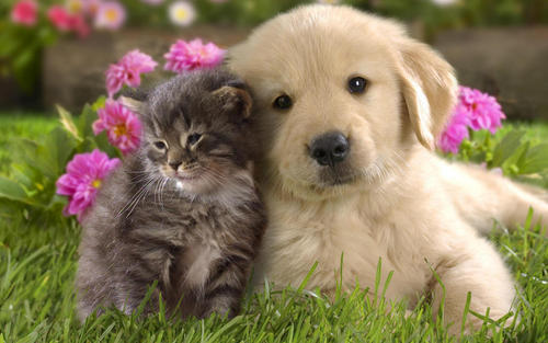Teddybear64 Wallpaper Probably With A Golden Retriever Entitled Dog And Cat