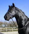 Friesian stallion horse portrait - friesians photo