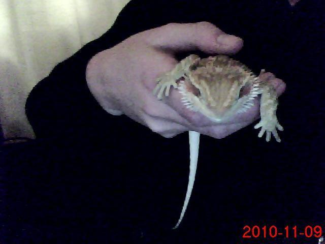 My baby Bearded Dragon Tippie-Toe! Pic2 (last pic)