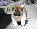 cute akita pup
