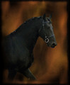 friesian horse - friesians fan art