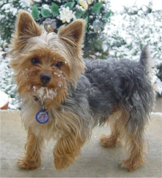Yorkshire Terriers Images Yorkshire Terrier Wallpaper And Background
