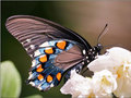 Beautiful butterfly, kipepeo