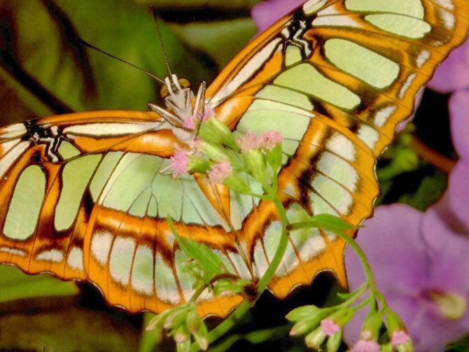 Beautiful mariposa