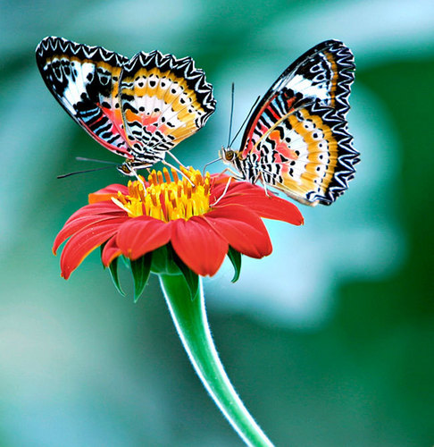 Butterflies پیپر وال possibly containing a nymphalid called Beautiful تیتلی
