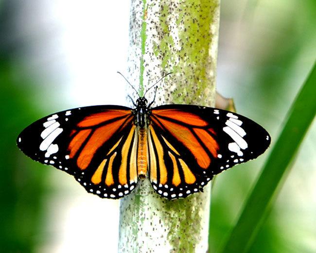 Beautiful तितली