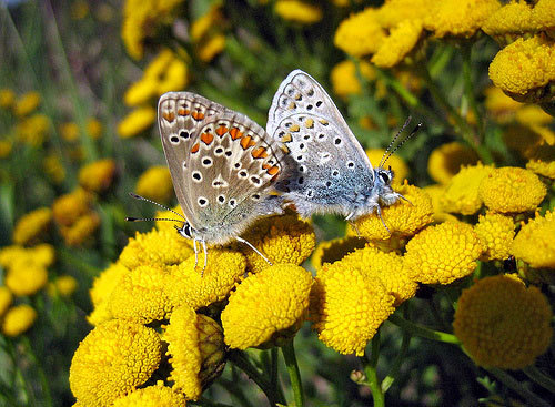 Beauty con bướm, bướm