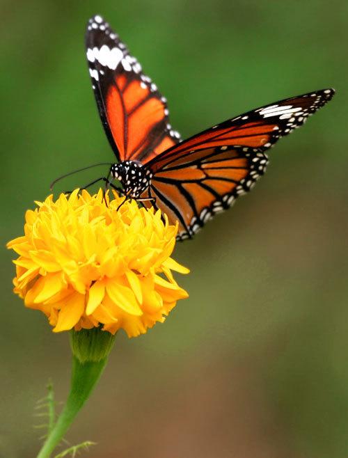Beauty kupu-kupu