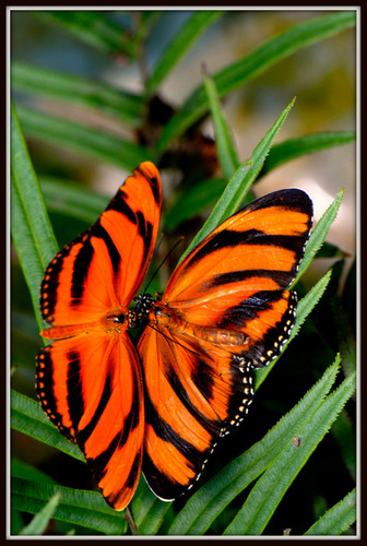 Beuatuful farfalla