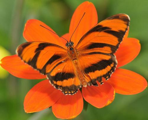 Beuatuful butterfly, kipepeo