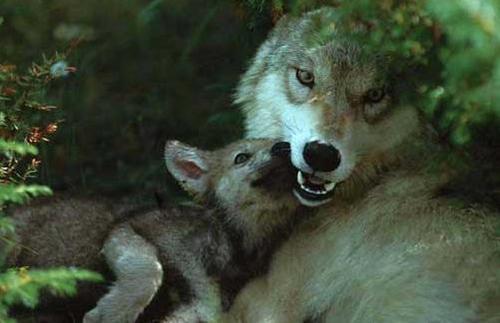 Gray serigala, wolf